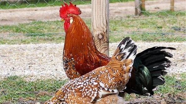 Il gallo esiliato in campagna «Il suo canto è vietato» - Home ...